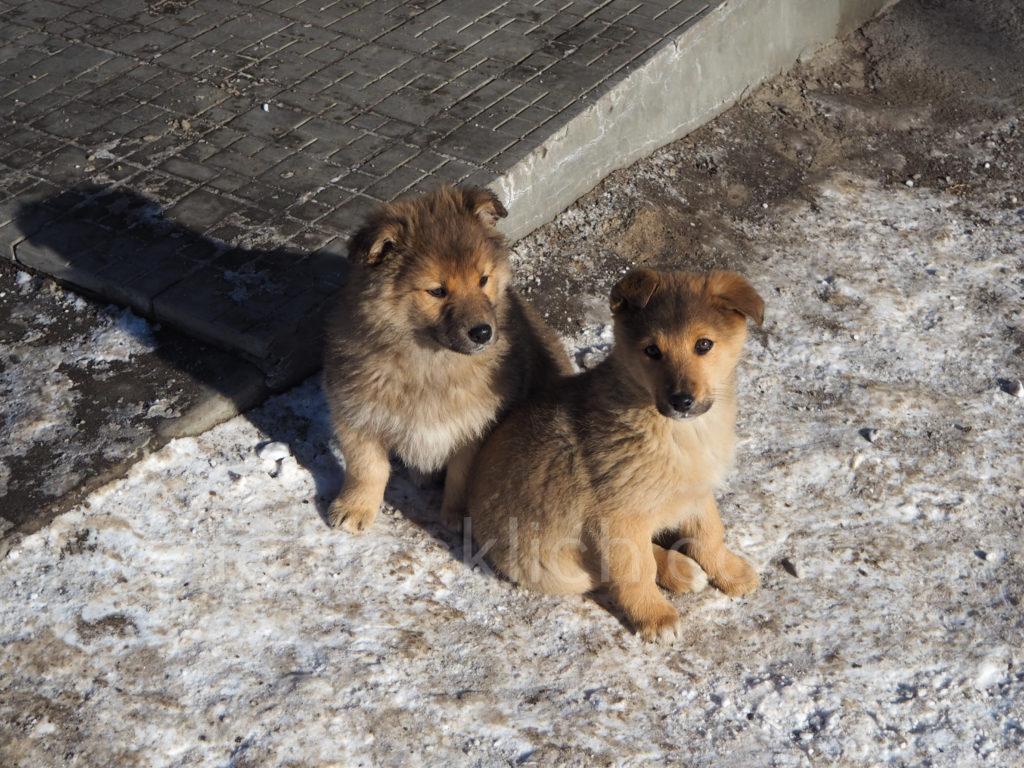 Listwjanka Hundewelpen
