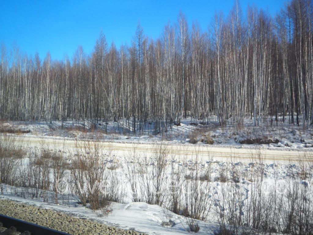 Weltreise 2020 Transsib Transsibirische Eisenbahn Sibirien Winter Birken