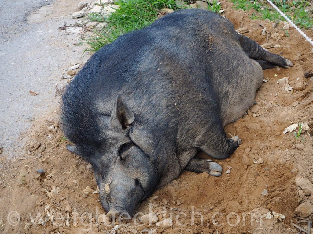 Thailand Koh Chang Bang Bao schwarzes Schwein