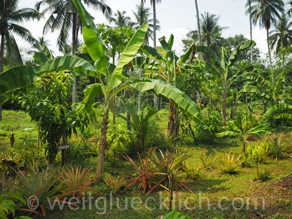 Thailand Koh Chang Kaffee Ronny's Organic Coffee Corner tropical garden