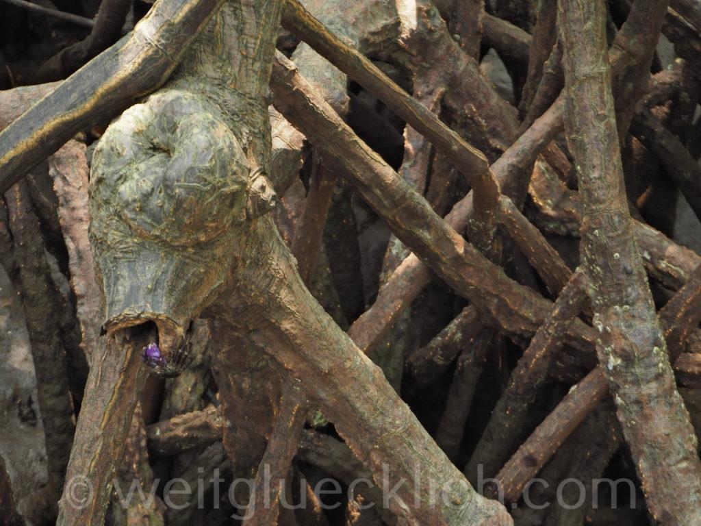 Weltreise Thailand Koh Chang Salak Phet Baan Na Nai Mangrovenwald Krabbe mangrove crab