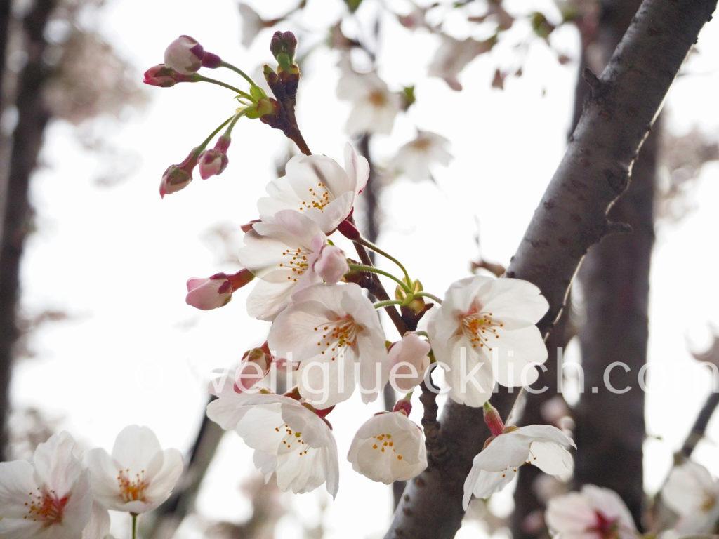 Weltreise 2020 Suedkorea Seoul Kirschbluete cherry blossom