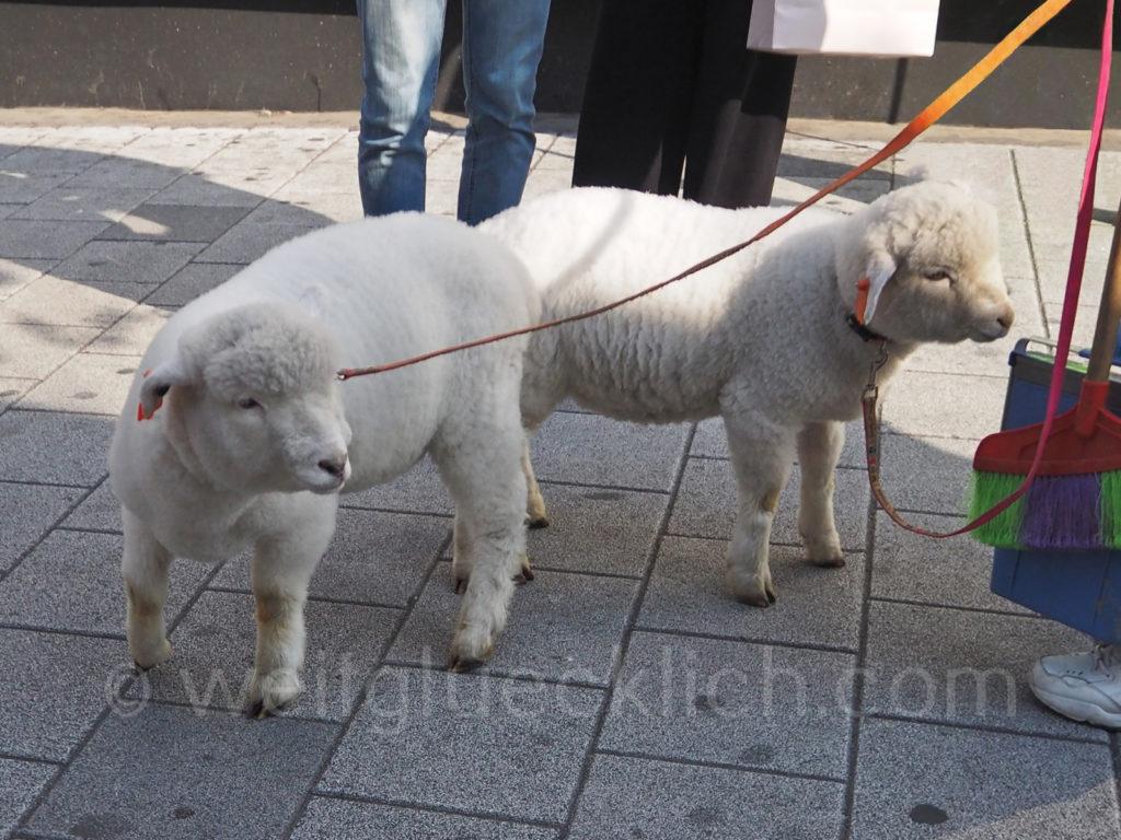 Weltreise 2020 Suedkorea Seoul Hongdae walking with sheeps Schafe in Fussgaengerzone