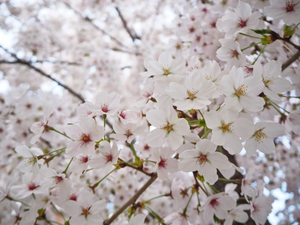 Weltreise 2020 Suedkorea Seoul Hongdae Gyeongui Line Book street cherry blossom Kirschbluete
