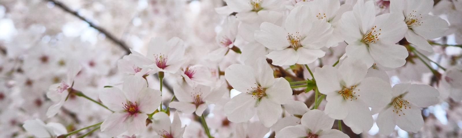 Weltreise 2020 Suedkorea Soeul Kirschbluete cherry blossom