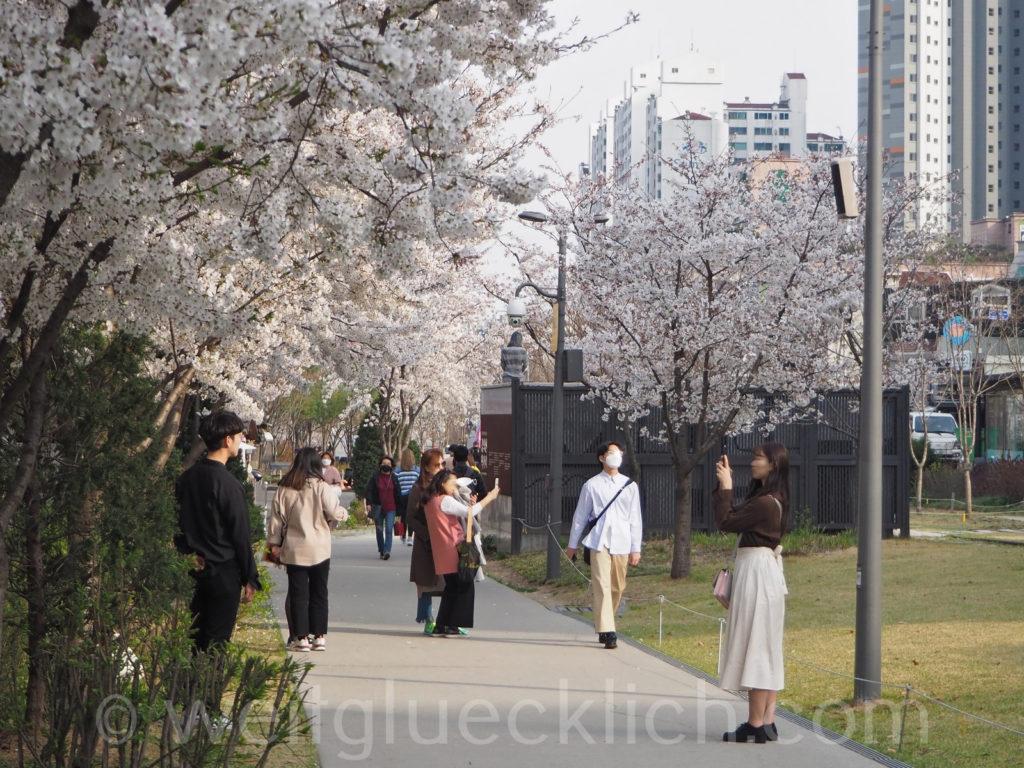 Weltreise 2020 Suedkorea Seoul Hongdae Gyeongui line book street Kirschbluete cherry blossom