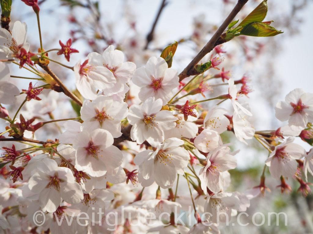 Weltreise 2020 Suedkorea Seoul Hongdae Wau Park Kirschbluete cherry blossom