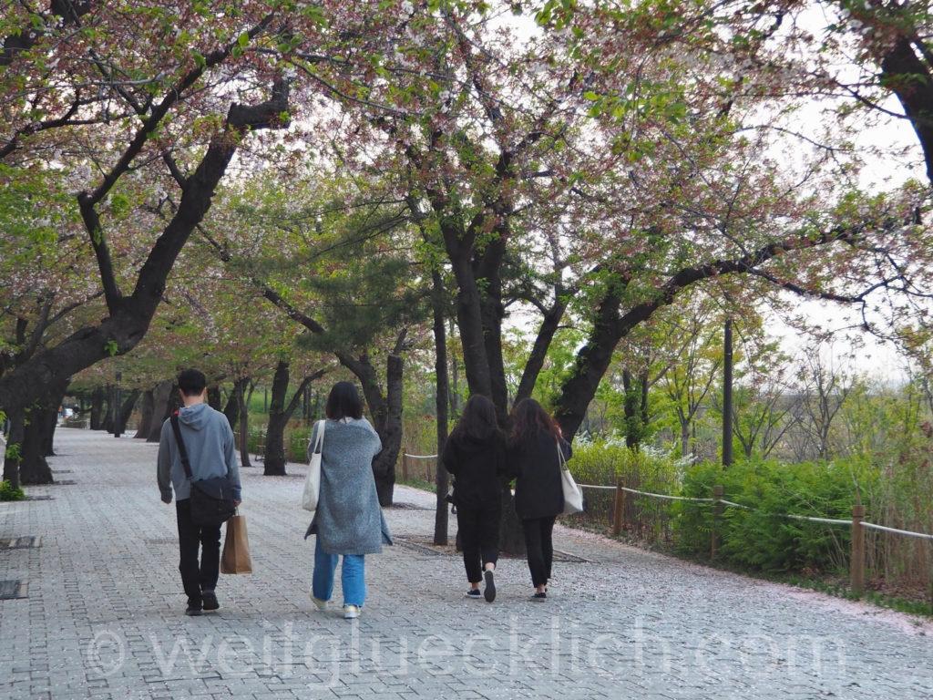 Weltreise 2020 Suedkorea Seoul Hangang Park Kirschbluete cherry blossom