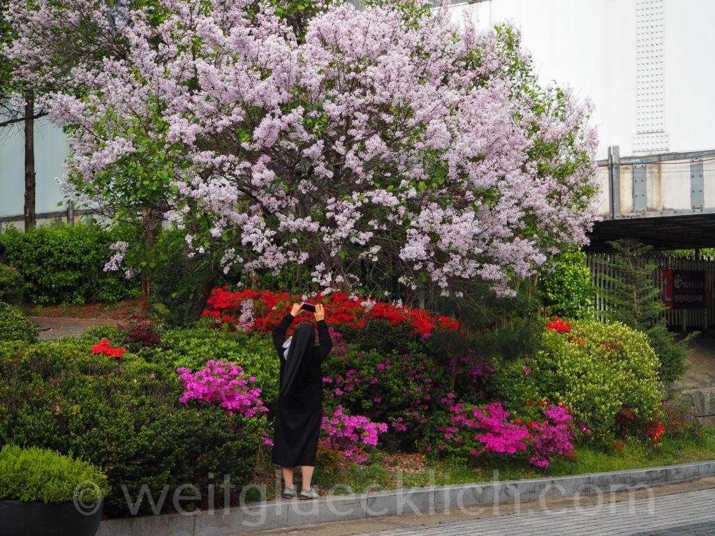 Weltreise 2020 Suedkorea Seoul Mapo-gu spring flowers