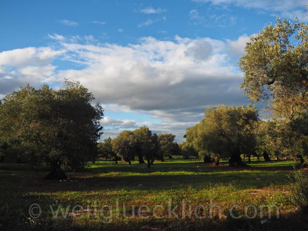 Weltreise 2020 Italien Apulien Valle d'Itria Olivenhain Olivenbaeume