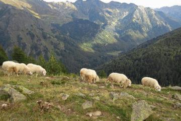 Peaks of the Balkans Albanien Bergwiese Schafe
