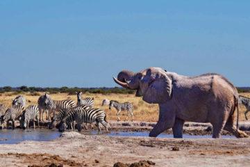 Weltreise 2021 Botswana Nxai Pan Elefant Zebras Wasserloch